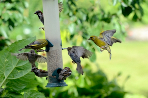 busy feeder greenfinches