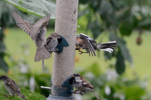 busy feeder sparrow