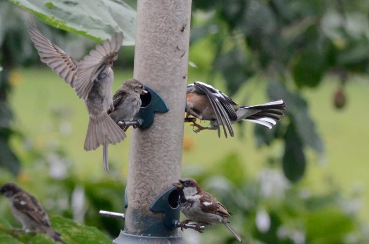 busy feeder sparrow