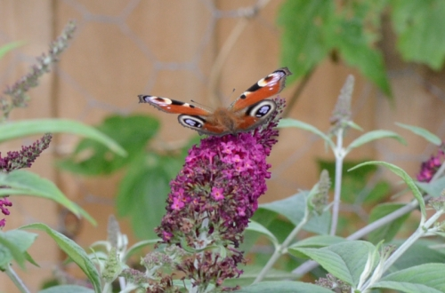 butterfly on red buddleia