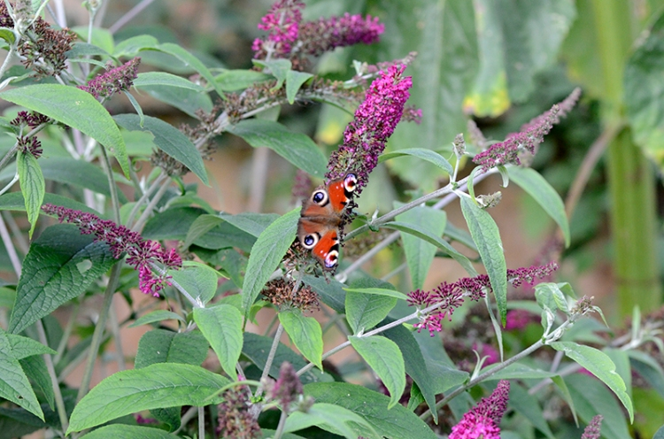 butterfly on ref buddleia