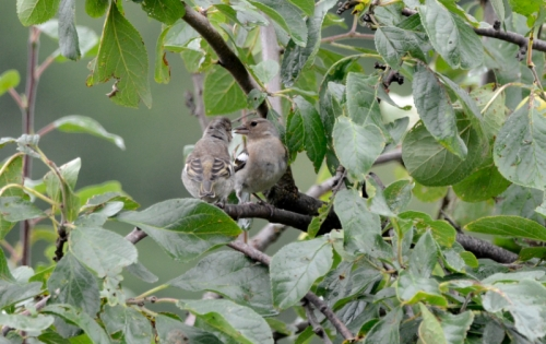 chaffinch and young