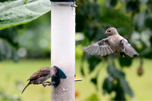 chaffinch incoming