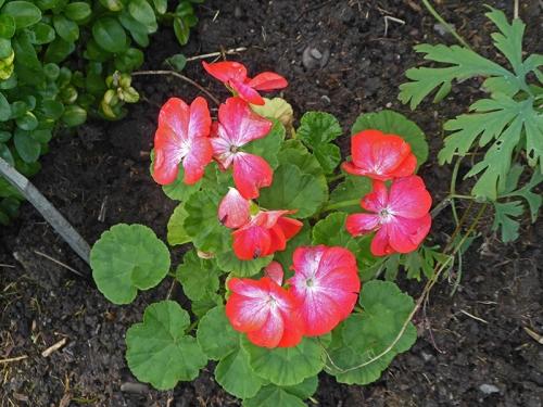 cheap geranium