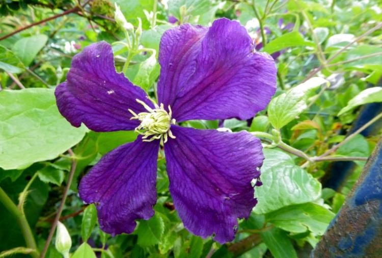 clematis 4 petals