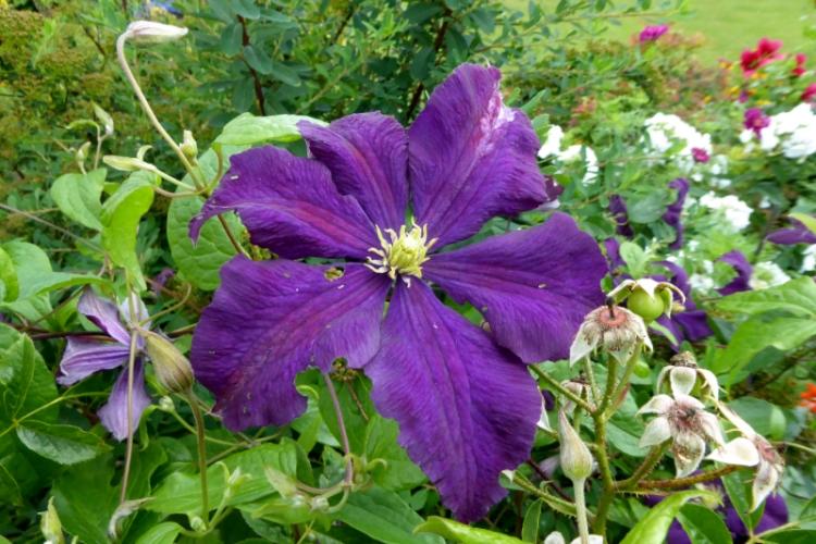 clematis 6 petals