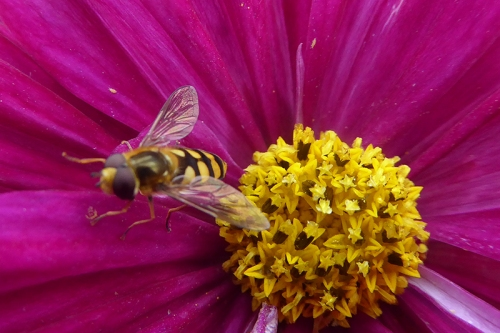 cosmos and hoverfly