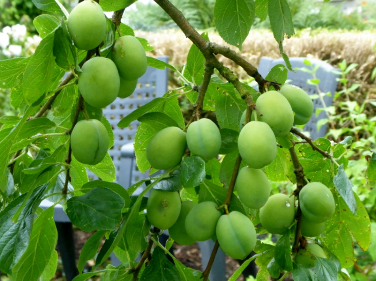 crowded plums