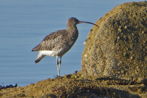 curlew at Wemyss