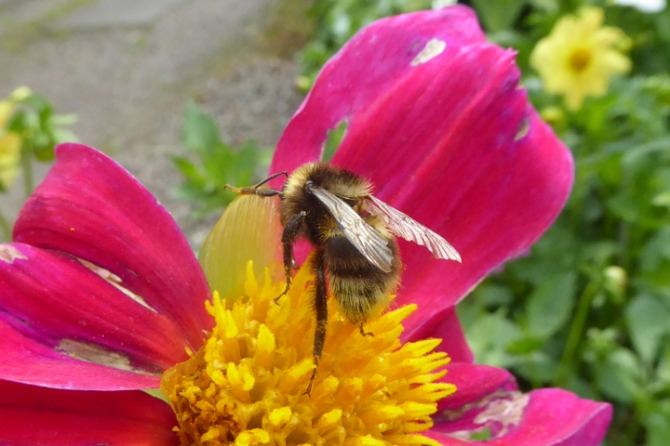 dahlia with bee