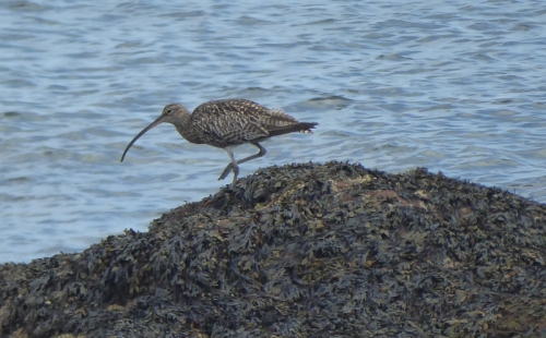 east wemyss curlew close up