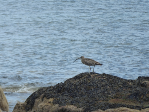 east wemyss curlew