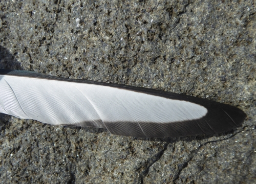 east wemyss feather