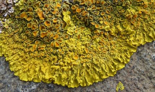 east wemyss lichen
