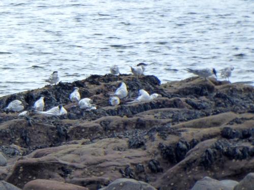 east wemyss sandwich terns