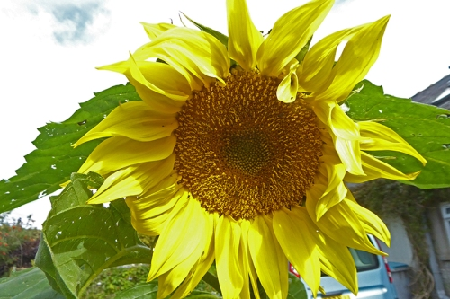 feeder sunflower
