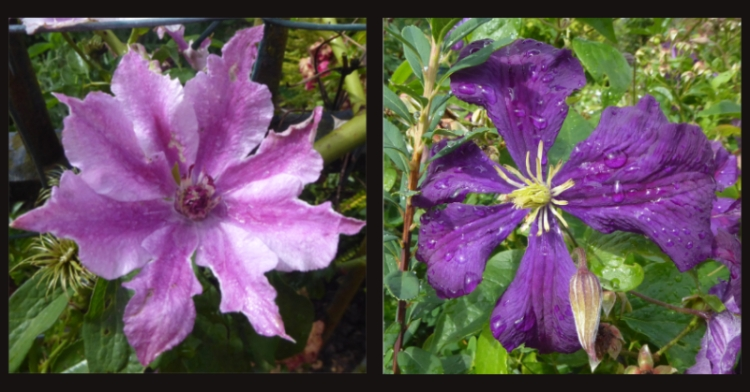 fence clematis