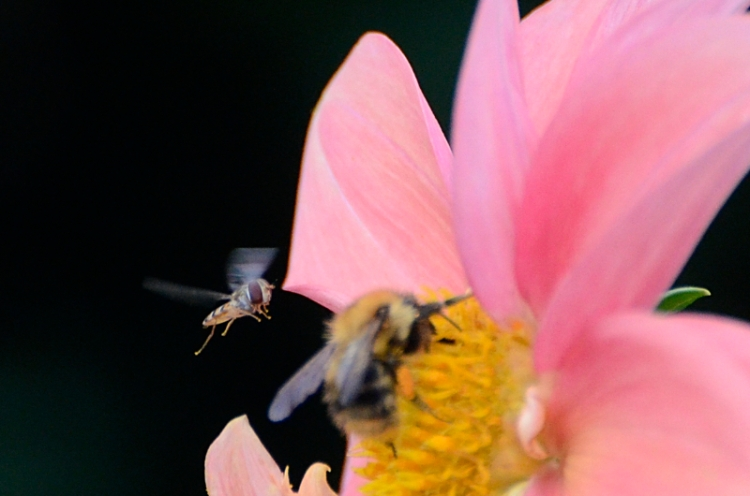 fly and bee on dahlia