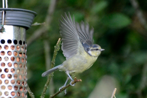 flying blue tit
