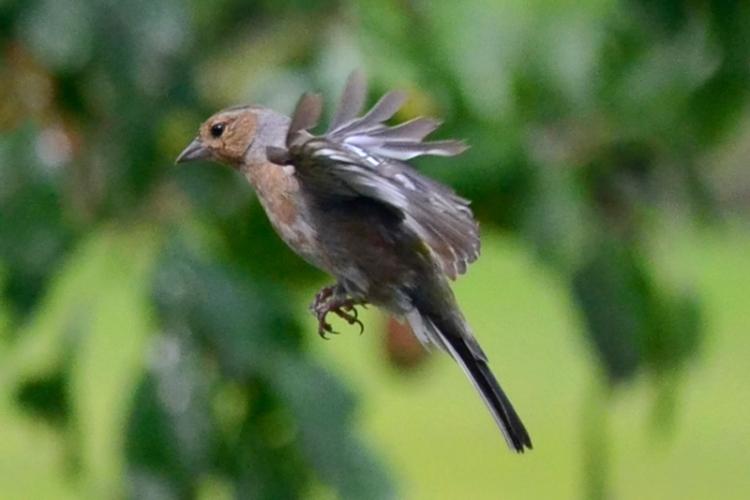 flying chaffinch 1