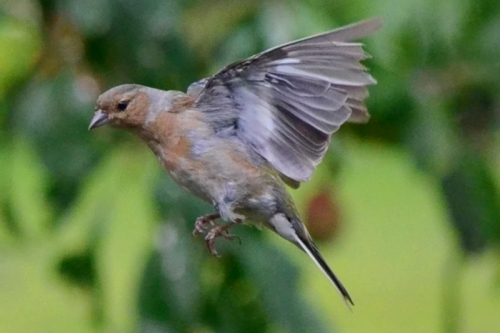 flying chaffinch 2
