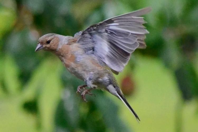 flying chaffinch 2