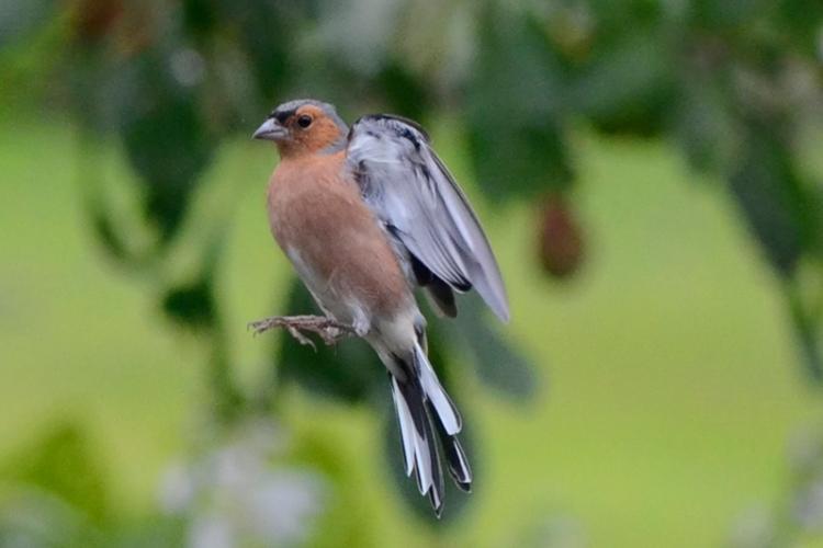 flying chaffinch 3