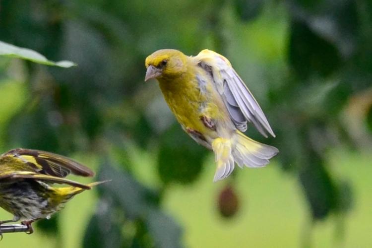 flying goldfinch 1
