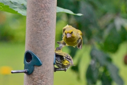 flying goldfinch 2