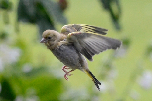 flying goldfinch 3