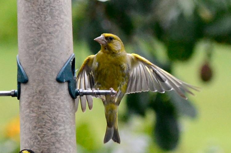 flying goldfinch 4