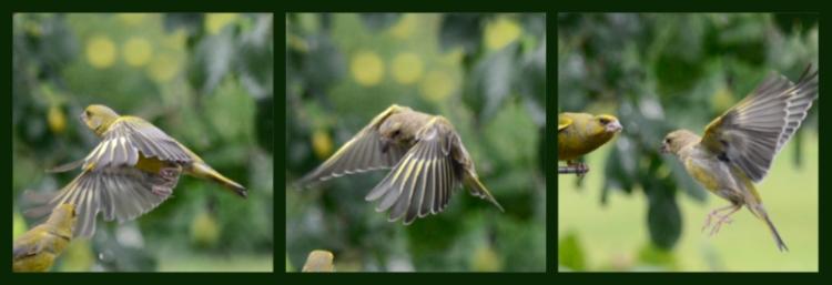 flying goldfinch triptych
