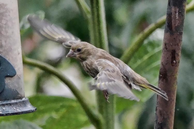flying greenfinch 1