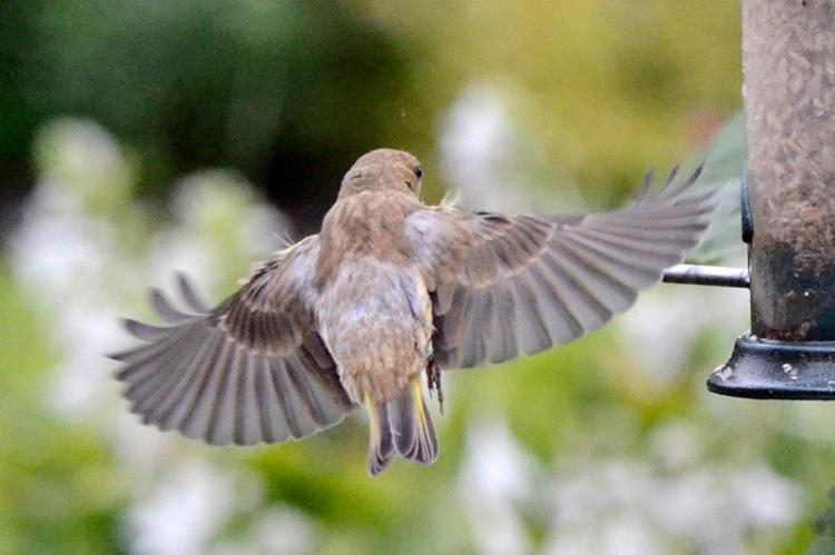 flying greenfinch 2