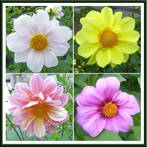 four dahlias