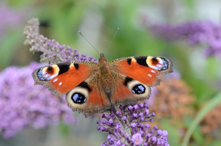 four eyed peacock butterfly