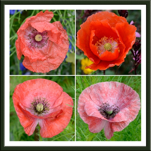 four red poppies