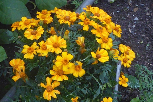 French marigold bunch