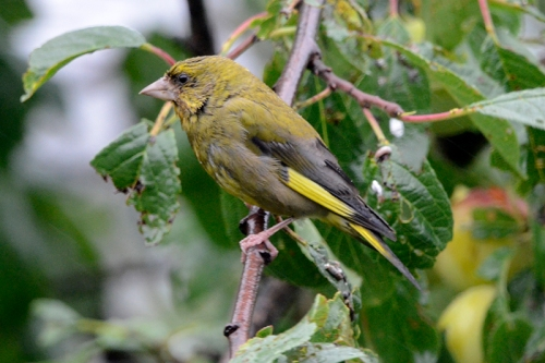 greenfinch in plum tree