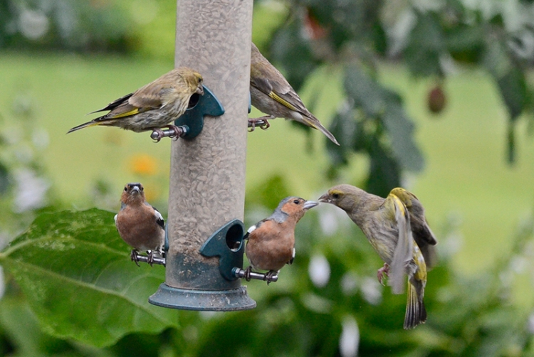 greenfinches and chaffinches 2