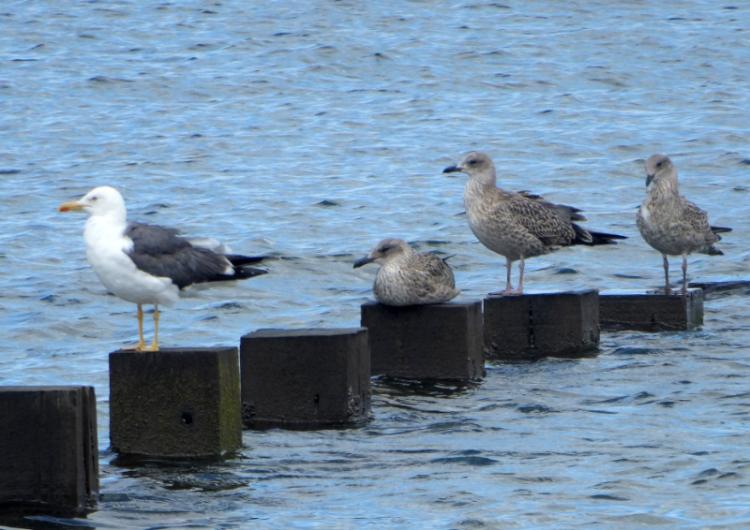 gull family portobello
