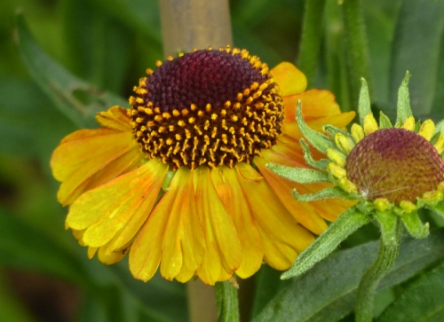 helenium with necklace