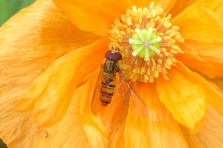 hoverfly on icelandic poppy