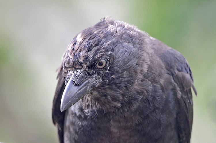 jackdaw close up