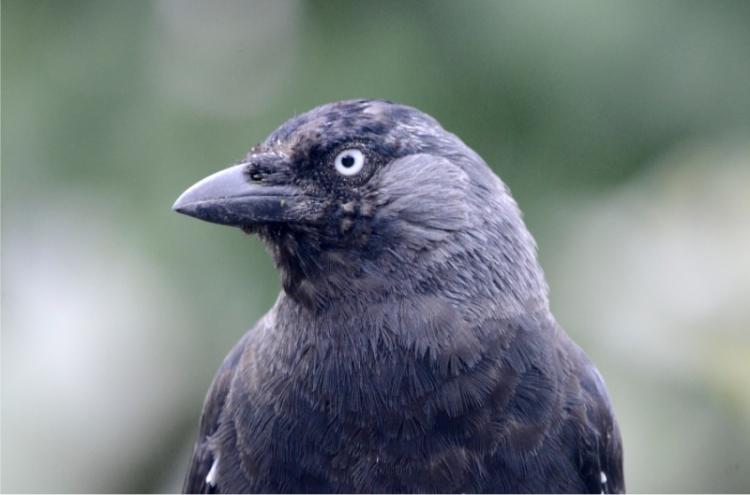 jackdaw closeup