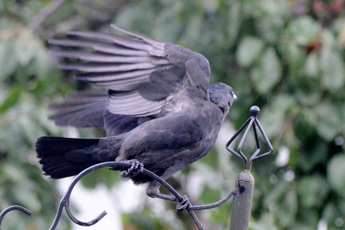 jackdaw flapping