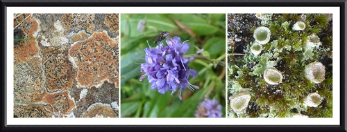 lichen, scabious lichen