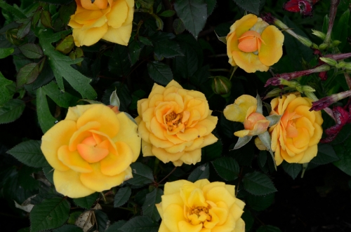 many golden wedding roses