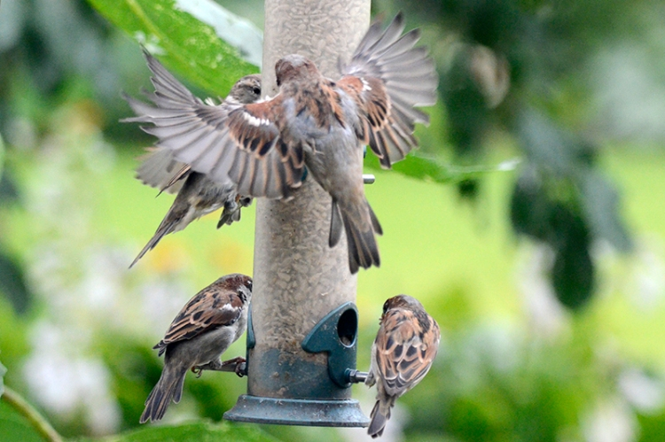 mass of sparrows