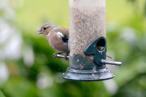 molting chaffinch